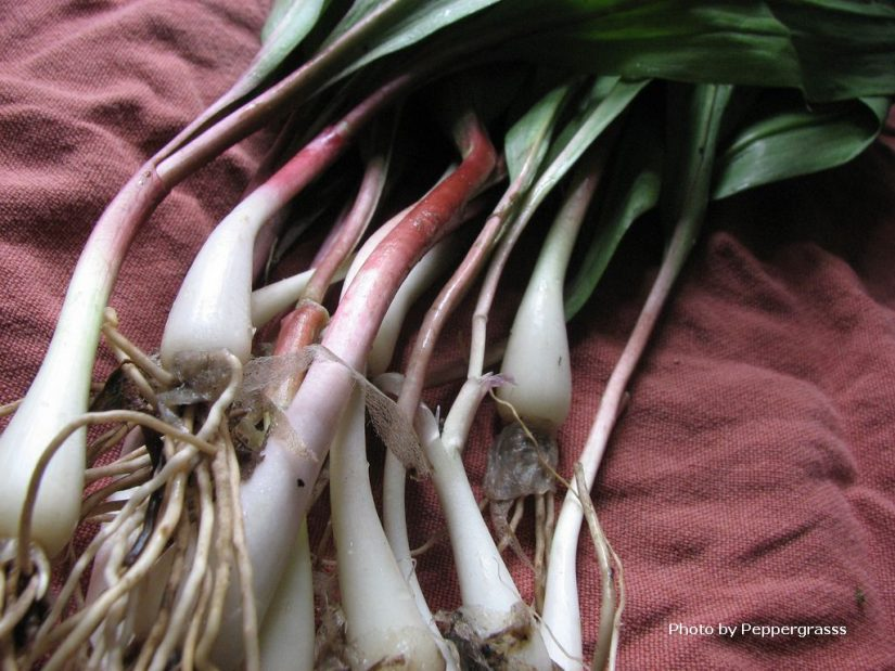 fresh-ramps-peppergrasss